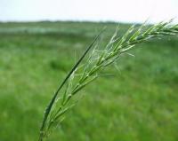 Avenula pubescens subsp. pubescens