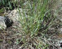 Avenula sulcata subsp. sulcata