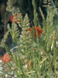 Trisetum paniceum