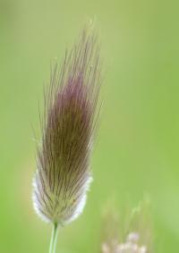 Lagurus ovatus