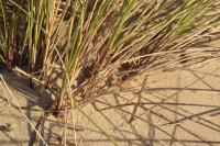 Ammophila arenaria subsp. australis