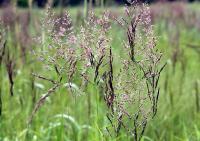 Calamagrostis canescens subsp . canescens