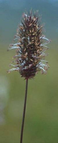 Phleum alpinum