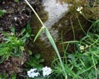 Alopecurus gerardii