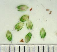 Alopecurus aequalis