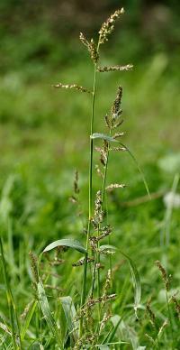 Echinochloa crus-gali