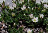 Minuartia cerastiifolia