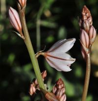 Asphodelus fistulosus subsp. fistulosus
