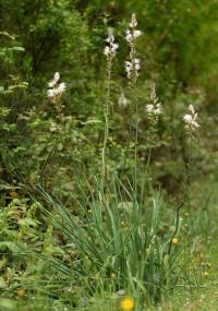 Asphodelus albus subsp. albus