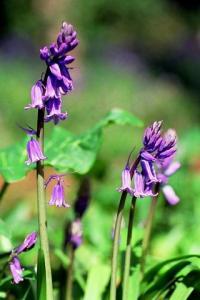 Hyacinthoides non-scipta