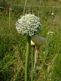 Allium polyanthum