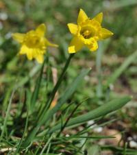 Narcissus asturiensis subsp jacetanus