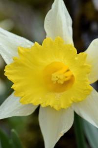 Narcissus varduliensis