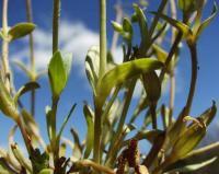 Holosteum umbellatum subsp. umbellatum