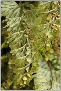 Hymenophyllum tunbrigense