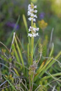 Gymnadenia odoratissima subsp. longicalcarata