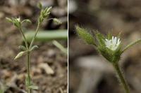Cerastium brachypetalum subsp brachypetalum