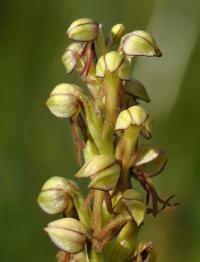Aceras antropophorum