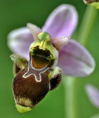 Ophrys scolopax