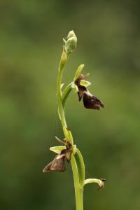 Ophrys insectifera