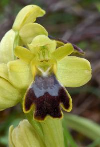 Ophrys lupercalis