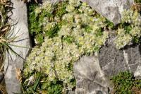 Paronychia kapela subsp. serpylifolia