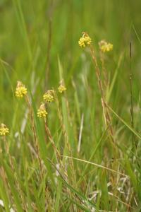 Sedum rupestre subsp rupestre
