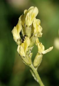 Oxytropis campestris subsp. campestris