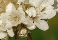 Armeria pubinervis subsp. pubinervis