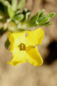 Androsace vitaliana subsp vitaliana