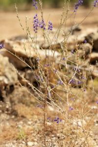 Delphinium halteratum subsp. verdunense