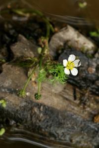 Ranunculus peltatus