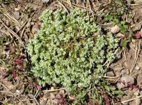 Scleranthus perennis subsp. perennis
