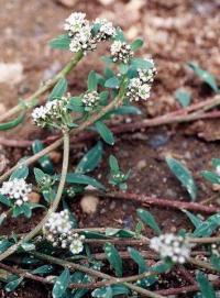 Corrigiola litoralis subsp litoralis
