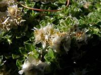 Paronychia polygonifolia