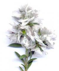 Paronychia capitata subsp. capitata