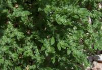 Herniaria cinerea