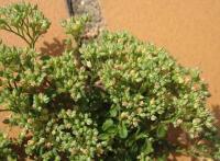Polycarpon tetraphyllum subsp. tetraphyllum