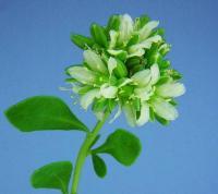 Telephium imperati subsp. imperati