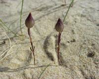 Silene conica subsp conica