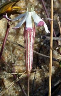Silene portensis subsp. portensis