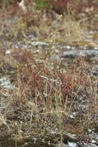 Silene inaperta subsp. inaperta