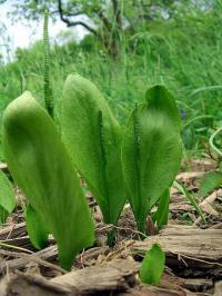 Ophioglossum vulgatum