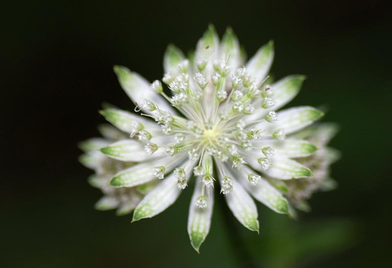 Añadido unas especies y generos de la familia APIACEAE - Flora Vasca